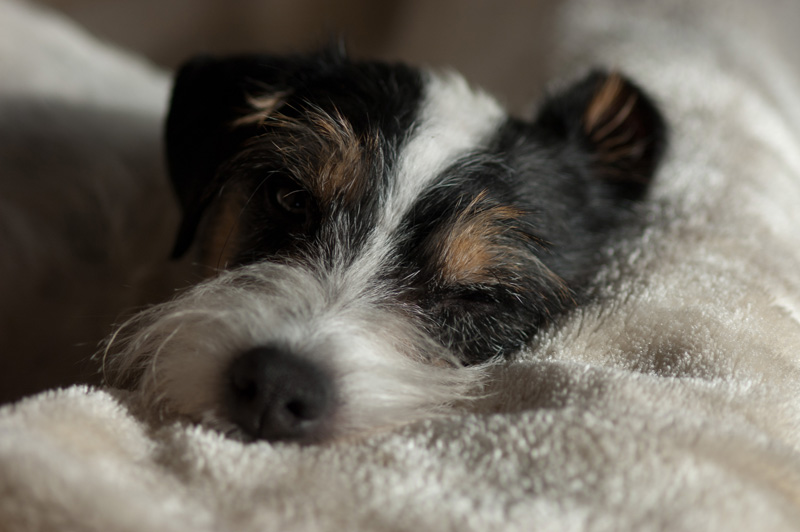 Parson Russell Terrier Elmwirschens Grace Kelly of Ascania
