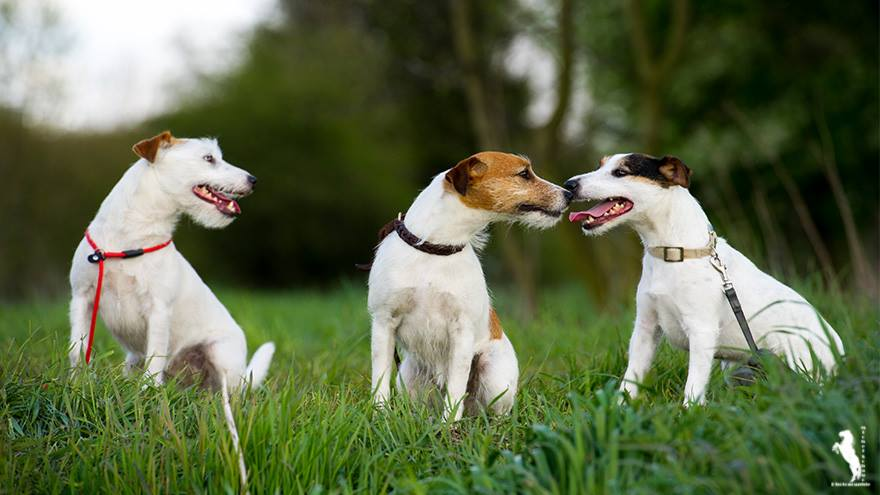 Parson Russell Terrier A-Wurf