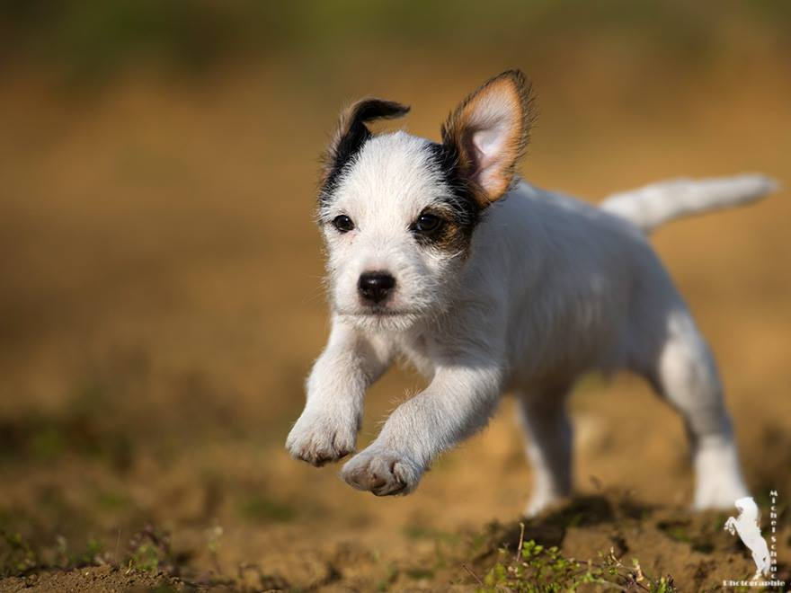 Parson Russell Terrier Dalli