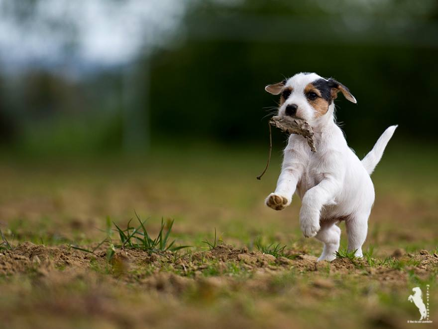 Parson Russell Terrier Ditte